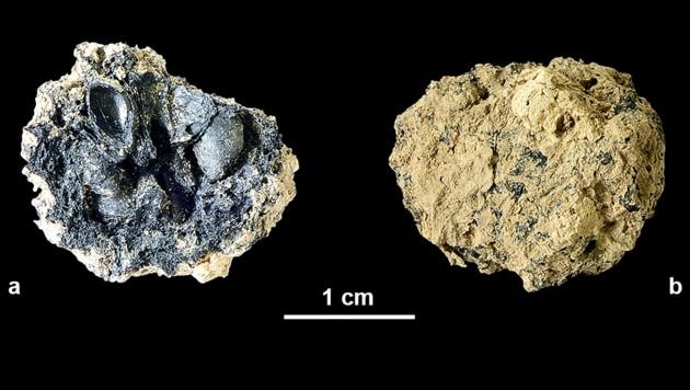 Bei der Ausgrabung einer jungsteinzeitlichen Siedlung in der Grundäckergasse konnten die verkohlten Reste eines Wildapfels geborgen werden. (Bild: APA/Stadtarchäologie Wien)