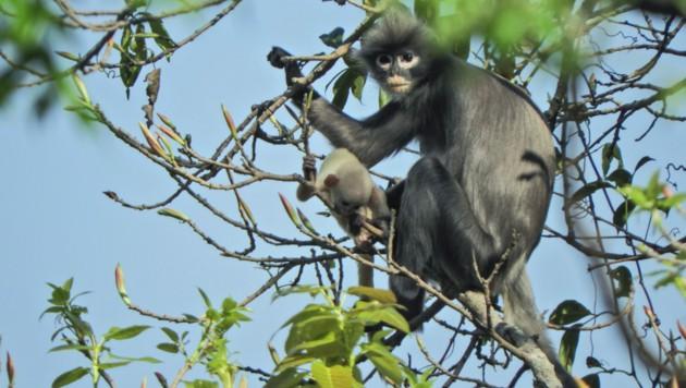 Der Popa-Langur - gerade erst entdeckt, könnte er schon bald verschwunden sein (Bild: AFP)
