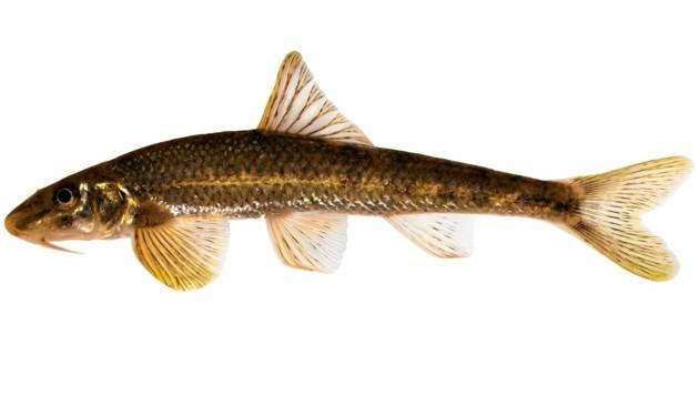 Mehr als 45.000 Tierarten sind bei uns heimisch, noch kennt man nicht einmal alle. Erst 2018 fand man in der Mur einen bis dahin völlig unbekannten Fisch - den Smaragdgressling. (Bild: www.pisces.at)