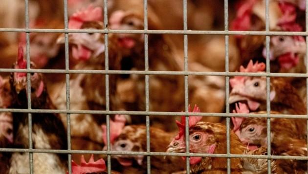 Vogelgrippe ist der Albtraum jedes Hühnerhalters. (Bild: AFP)