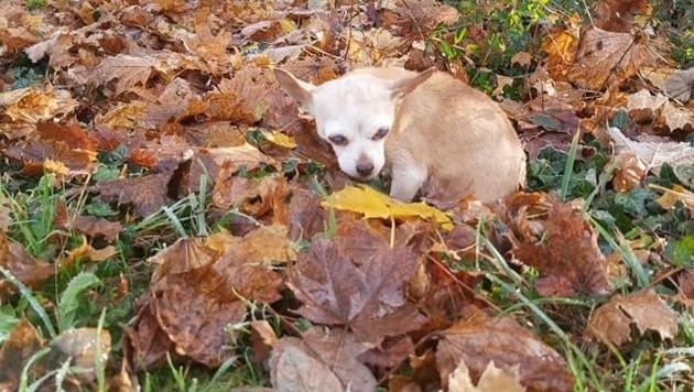 Fast blinde Chihuahua-Hündin wird nun versorgt (Bild: Tierrettung OÖ)