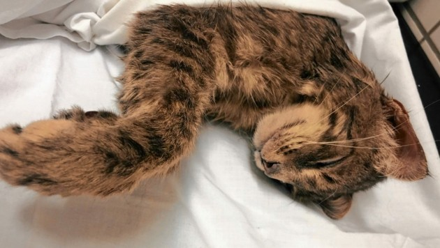 Die Katze war so schwer verletzt, dass sie nur noch erlöst werden konnte (Bild: LPD Steiermark)