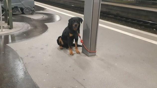 Dieser Rottweiler wurde am Bremer Hauptbahnhof angebunden. Mehrere Bahnsteige mussten daraufhin gesperrt werden, weil der Hund sich sehr aggressiv verhielt.