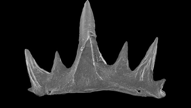 Zähne und Knochen sind häufig die einzigen Überreste einst lebender Organismen und können Jahrmillionen überdauern. (Bild: NHM Wien)