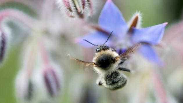 Aufgrund des Insektensterbens wird auch der Lebensraum für Wildbienen immer knapper. (Bild: APA/dpa/Sebastian Gollnow)