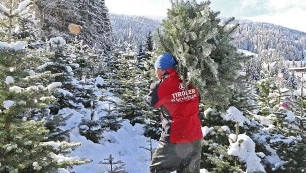 Die mehr als 20 Tiroler Christbaumproduzenten garantieren für heimische Qualitätsbäume mit unverkennbarem Logo. (Bild: Christof Birbaumer)