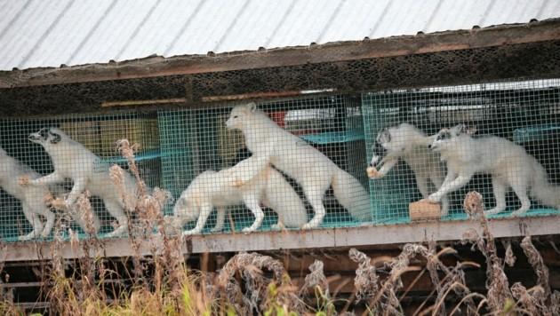Ihr Leben ist so grausam wir ihr Tod. Pelztiere wie Füchse werden mittels Gas oder anale Elektroschocks getötet. (Bild: FOUR PAWS)