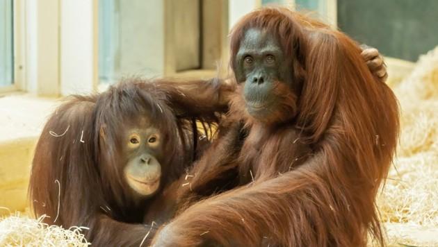 """Die siebenjährige """"Surya"""" (l.) aus dem Zoo Rostock und die 56-jährige """"Mota"""" (Bild: APA/DANIEL ZUPANC)"""