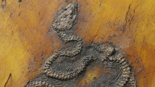 Die neu beschriebene Pythonart Messelopython freyi ist der älteste bekannte fossile Nachweis eines Pythons weltweit. (Bild: Senckenberg)