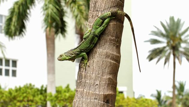 In Florida können kurz vor Weihnachten Leguane von den Bäumen regnen. (Bild: stock.adobe.com, Krone KREATIV)