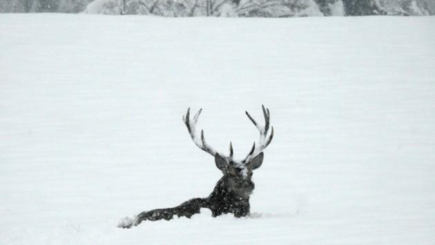 Die Wildtiere haben im Winter regelrechten Überlebenskampf (Bild: Sebastian Brunner)
