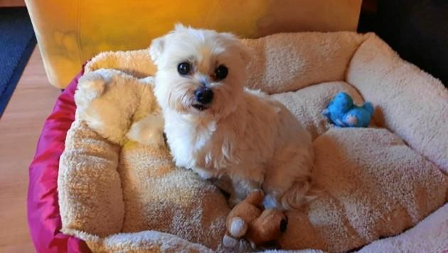 """Hündin """"Daisy"""" wird in ihrem neuen Zuhause liebevoll umsorgt. (Bild: zVg)"""
