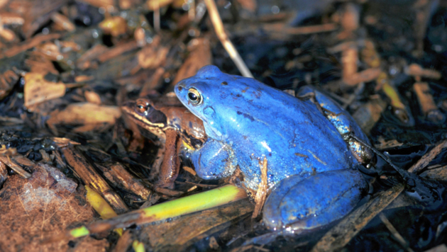 Ein blaues Froschmännchen. (Bild: Dietmar Streitmaier)