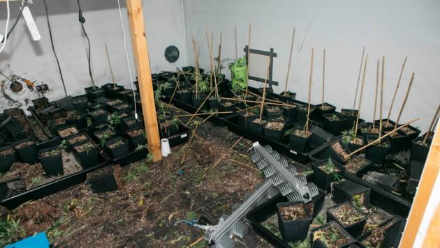 Die Täter haben sämtliche Hanfpflanzen abgeerntet. Dem nicht genug, wurden auch etliche hochwertige Wärmelampen entwendet. (Bild: mathis.studio)