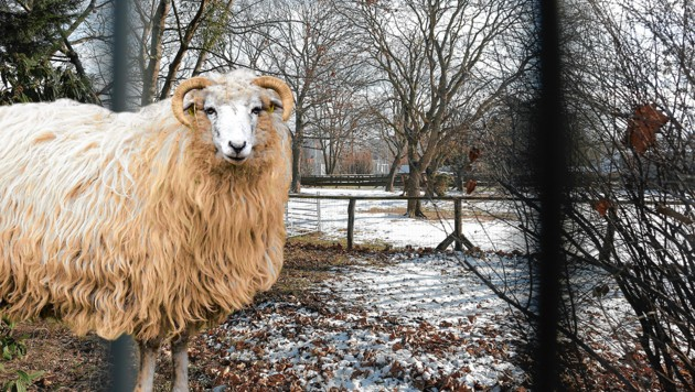 Zwei Schafe wurden in einem Streichelzoo in der Wiener Donaustadt geschlachtet. (Bild: MA 42 – Wiener Stadtgärten, Gerhard Bartel, Krone KREATIV)