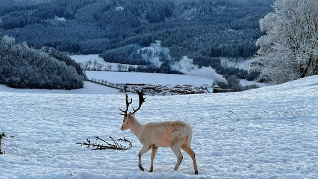 Noch hat der schneeweiße Hirsch keinen Namen. (Bild: Evelyn HronekKamerawerk)