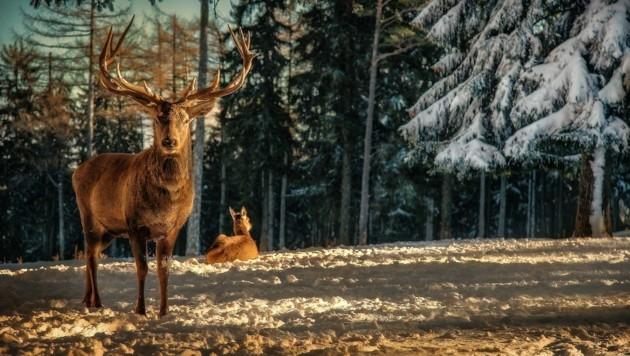 Das Wild in den heimischen Wäldern darf aufatmen: Die Gatterjagd ist bald Geschichte (Bild: ViennaPress / Andreas TISCHLER)
