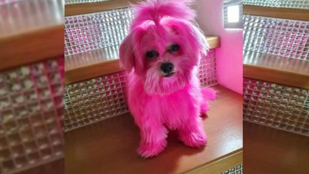 """Das skurril anmutende Foto des gequälten Hundes wurde der """"Krone""""-Tierecke von einem entsetzten Tierfreund zugespielt. (Bild: zVg, Krone KREATIV)"""