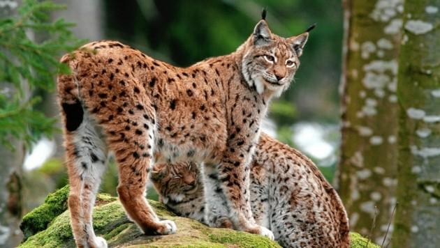 Werden laufend nachgewiesen: Sechs Tiere gehören der einzigen größeren Population in der Steiermark an. (Bild: Josef Limberger)