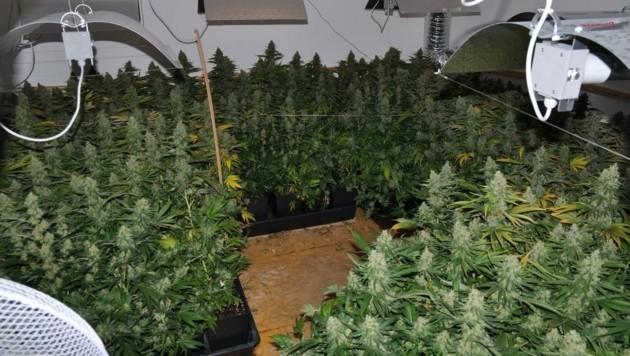 Ein 29-Jähriger betrieb im Haus eine riesige Plantage. (Bild: Polizei)