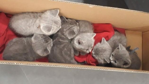 Die Kätzchen wurden beschlagnahmt. (Bild: APA/MA 60)