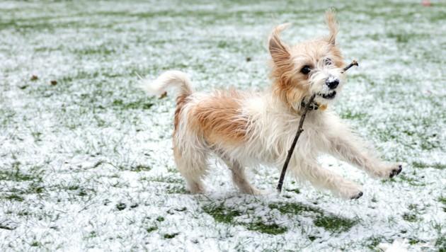 """Hund """"Dilyn"""" beim Spielen im Schnee (Bild: Pippa Fowles /No 10 Downing Street)"""