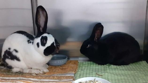 Die zwei Kaninchen erholen sich im Tierheim von ihrer Erkrankung. (Bild: Tierschutzverein St. Pölten)