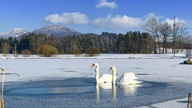 Trotz Eiseskälte ziehen zwei Schwäne in Eugendorf ihre Runden. (Bild: Tschepp Markus)