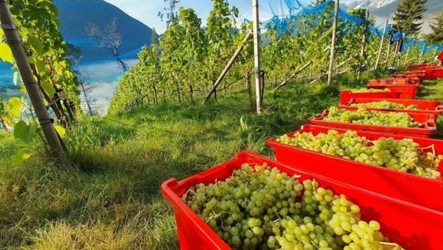 Im Frühjahr statten die Oberösterreicher mit der Szent-István-Universität in Ungarn den ausgewählten Weingarten mit Sensoren aus. (Bild: Hubert Daum)