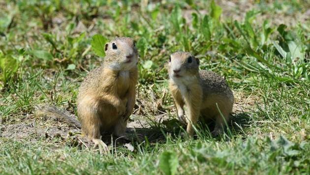 Ziesel gehören zur Gattung der Erdhörnchen. (Bild: Huber Patrick)