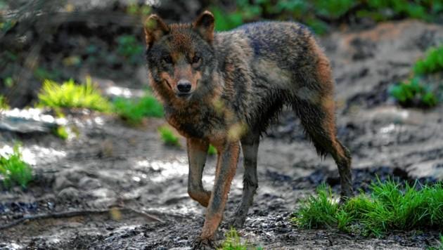 Sollte der Wolf in die Falle gehen? Land, BH und Jägerschaft müssen die Causa nun klären. (Bild: REUTERS)