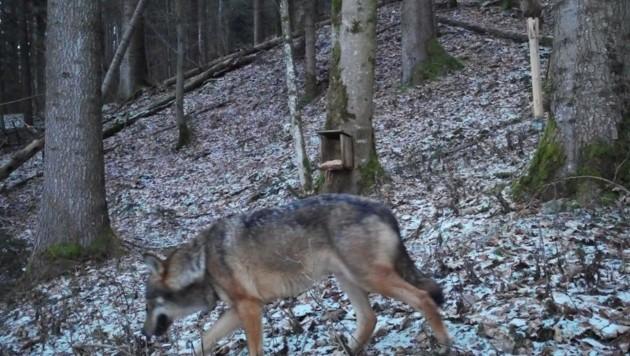 Die Wildkamera lieferte dieses Foto (Bild: Wilhelm Maier)