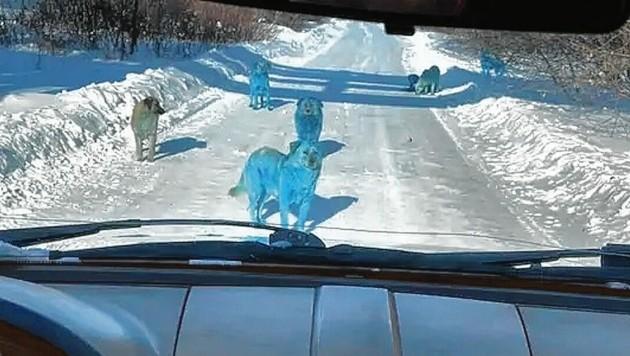 Dieses Foto schoss ein Autofahrer im russischen Dserschinsk. Anfangs glaubte er, er bilde sich die blauen Hunde nur ein. (Bild: VK)