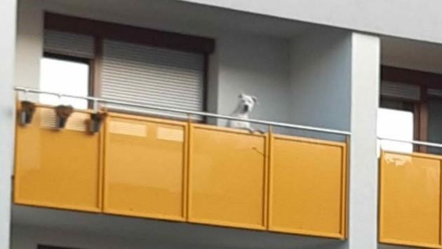 Dauerhaft auf Balkon gesperrt (Bild: Pfotenhilfe Lochen)