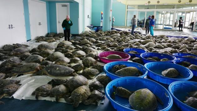 Tausende Grüne Meeresschildkröten und Atlantik-Bastardschildkröten überwintern im Kongresszentrum von South Padre Island in Texas. (Bild: AP)