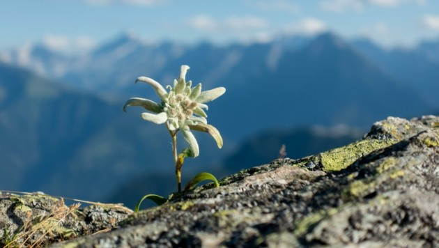 Wie das Edelweiß gehört auch der Dialekt zu Tirol dazu. (Bild: stock.adobe.com)