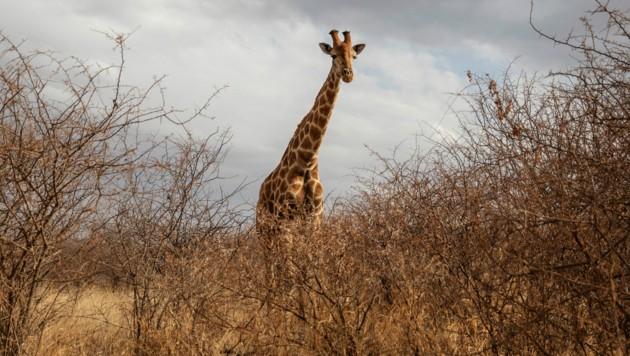 Eine Giraffe in Südafrika (Bild: AFP)