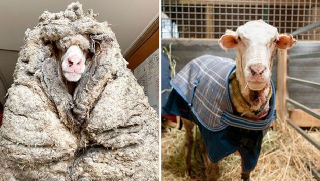 """Über die Jahre in der Wildnis hat """"Baarack"""" 35 kg Wolle angesammelt. Jetzt wurde das Schaf geschoren. (Bild: facebook.com/edgarsmission, Krone KREATIV)"""