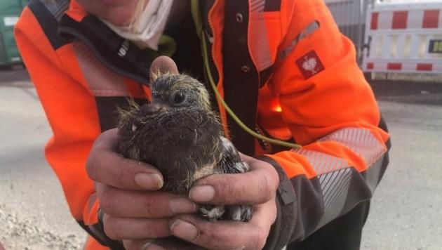 Die Taubenjungen wurden gerettet. (Bild: zvg/VGT)
