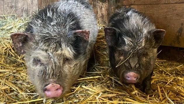 Die zwei Minischweine dürften schon Tage sich selbst überlassen gewesen sein. (Bild: Pfotenhilfe)