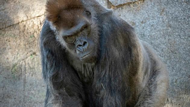 Gorilla (Symbolbild) (Bild: AP)