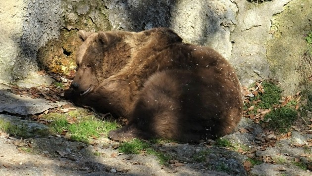 Bären sind aufgewacht (Bild: Zoo Salzburg)