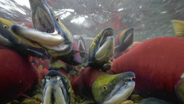 Auch die Bestände der kurios gefärbten Rotlachse schwinden. (Bild: Michel Roggo)