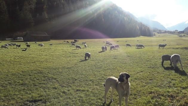 Beim Herdenschutz ist noch nicht alles ausgereift. (Bild: Schranz)