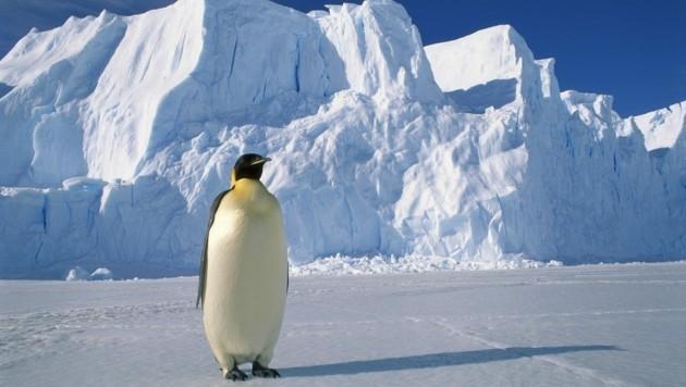 Ein Kaiserpinguin im australischen Antarktisgebiet (Bild: Pete Oxford / Minden Pictures / picturedesk.com)