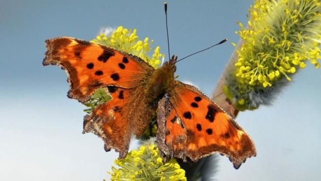 Auch Schmetterlinge finden oft zu wenig Nahrung oder Ablage für ihre Eier. (Bild: Wolfgang Spitzbart;)