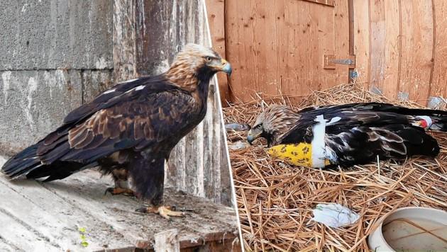 """Kaiseradler-Weibchen """"Rega"""" ist langsam auf dem Weg der Besserung. (Bild: Matthias Schmidt, Krone KREATIV)"""