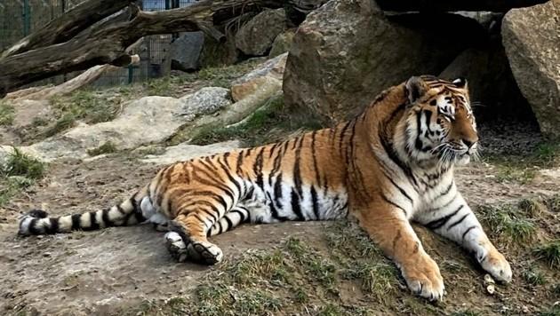 """Auch der Sibirische Tiger """"Boris"""" fühlt sich hier pudelwohl. (Bild: Tierpark Stadt Haag)"""