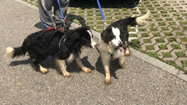 Zwei von 14 aus einer extrem verwahrlosten Wohnung in Braunau geretteten Hunde. (Bild: Pfotenhilfe)