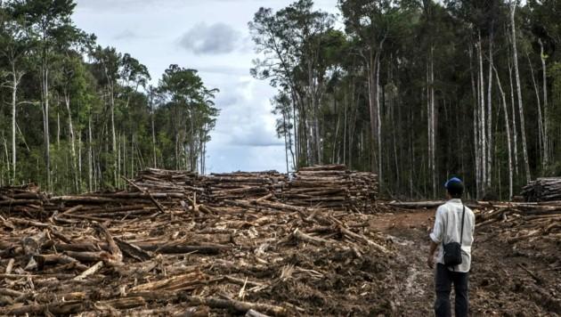 Ein Mitarbeiter von Greenpeace inspiziert abgeholzten Regenwald in der indonesischen Provinz Nordkalimantan. (Bild: Ulet Ifansasti/Greenpeace)